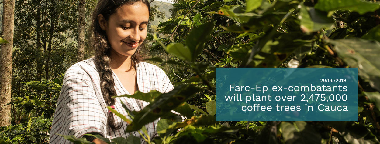 Farc-Ep-ex-combatants-will-plant-over-2,475,000-coffee-trees-in-Cauca.jpg